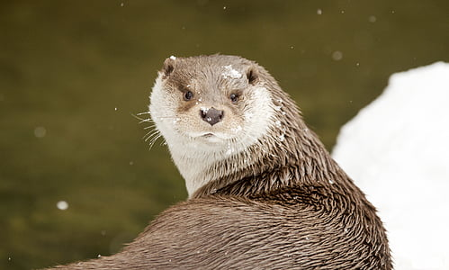 brown otter beside body of water
