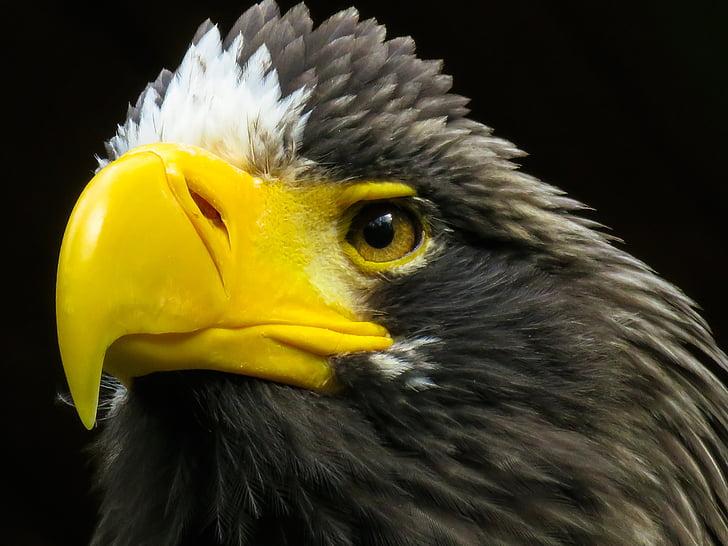 closeup photo of bald eagle