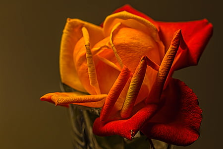 closeup photography of orange and red rose flower