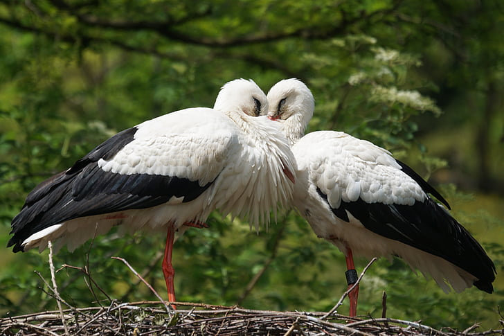 two white storks perched on bird nest during daytime