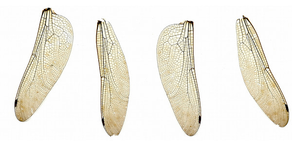 four dragon fly wings