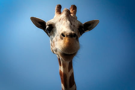 low angle photography of brown giraffe at daytime