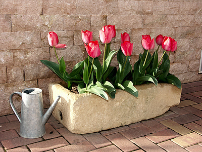 pink tulips in bloom beside gray metal watering can
