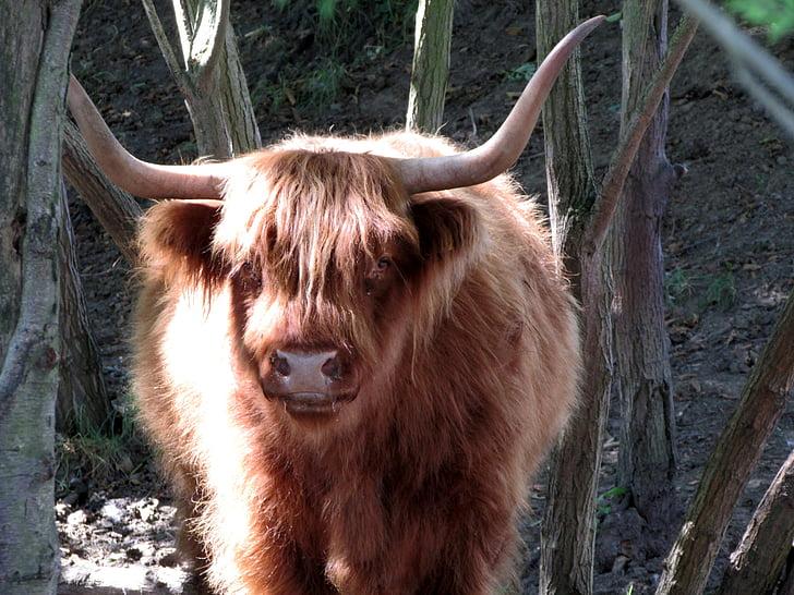 brown Highland cattle