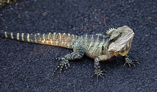 green Iguana on road