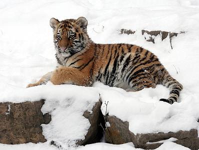 tiger on snowy mountain