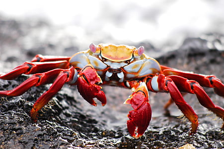 shallow focus photography of red and gray crab