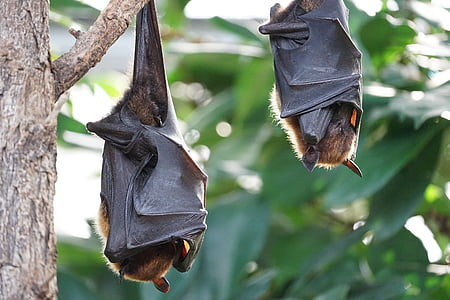 two brown bats on tree branch