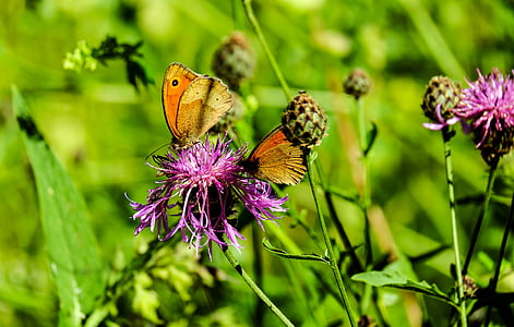 two brown butterfly perched on purple flower