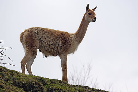 brown alpaca on hill