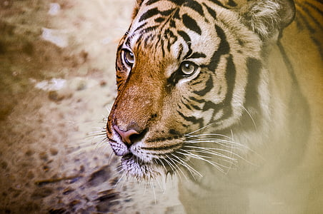 selective focus photo of brown and black tiger