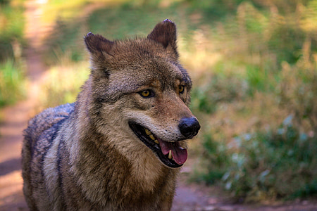 wildlife photography of wolf