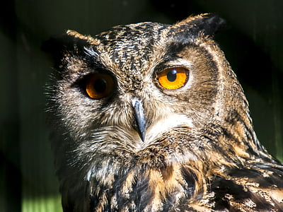 brown owl in close up shot
