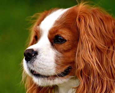 medium-coated white and tan dog