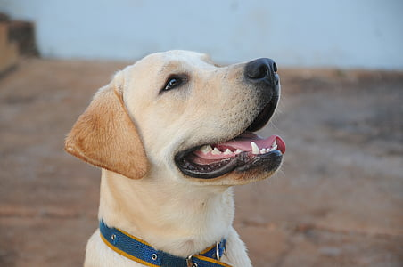 close-up photography of yellow Labrador retriever