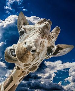 closeup photo of giraffes face