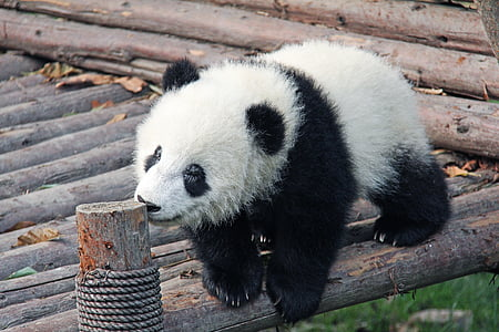 white and black panda on brown wooden surface at daytime