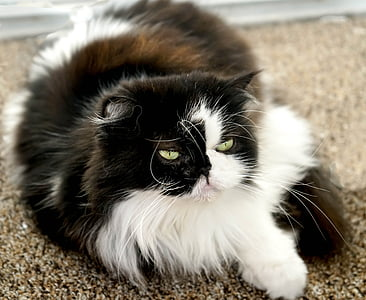 long-coated white and black cat on brown area rug