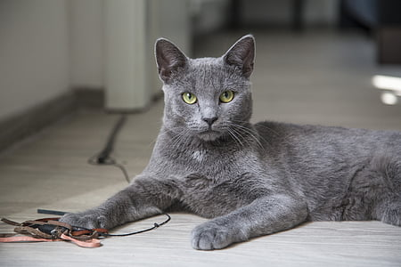 depth of field photography of korat cat leaning on gray parquet floor