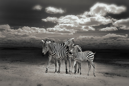 grayscale photography of three zebras