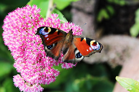 macro photo of peacock butterfly on pink flower