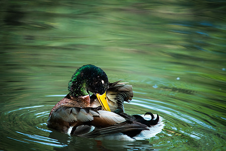 photo of mallard duck on green body of water