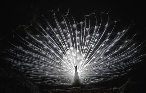 focus photography of whitepeacock