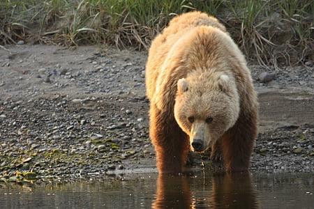 bear drinking water