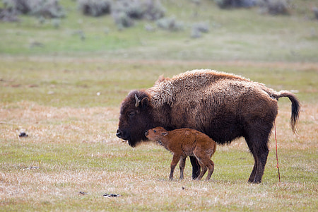 wildlife photography of b lack bison and calf