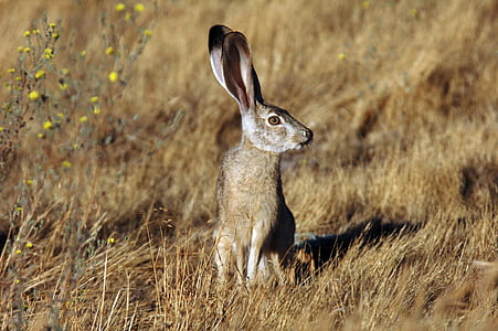 gray rabbit on brown grass field during daytime