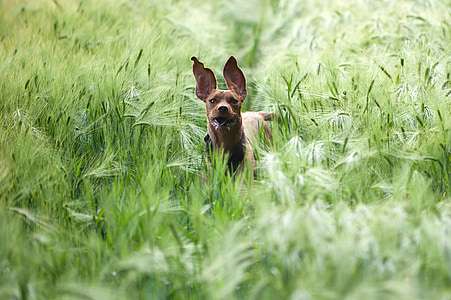 short-coated tan dog walking on grass at daytime