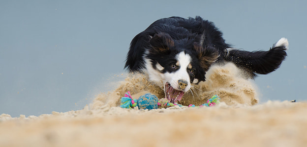 adult black and white border collie playing on sand at daytime