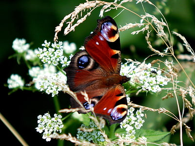 Aglais io butterfly perching on white petaled flowers