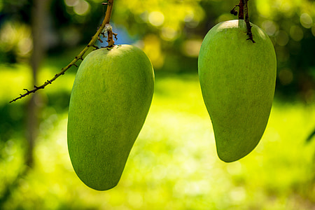 two unriped mangoes in closeup shot