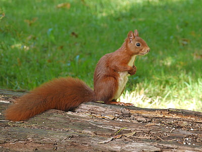 brown squirrel standing on tree bark