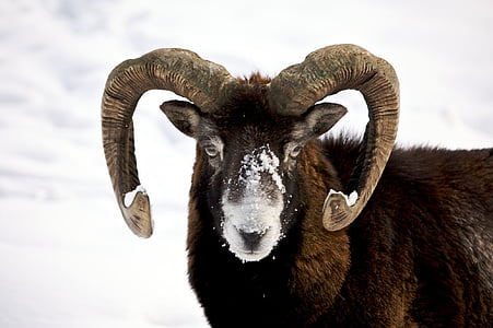 brown and black mountain goat