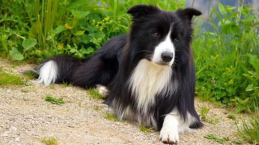 adult black and white border collie resting on sand