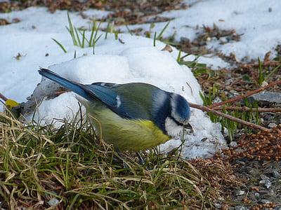 Blue jay beside snow filled rock