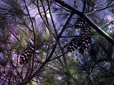 photo of pine cone