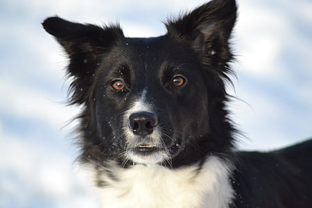 adult black and white border collie on snow