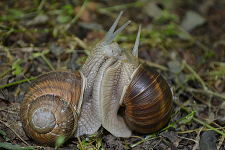 two brown snails on green grass