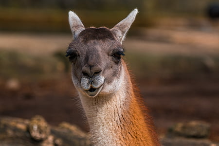 shallow focus photography of brown llama