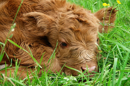 brown calf lying on the green grass field