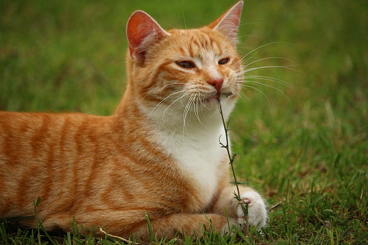 shallow focus photography of orange tabby cat eating piece of grass
