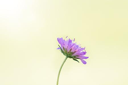 purple scabiosa flower in side view
