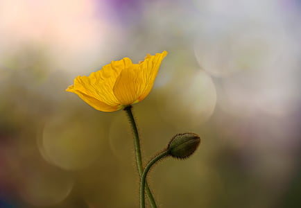 shallow focus photography of yellow poppy