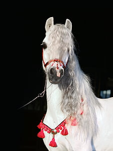 white horse with red collar
