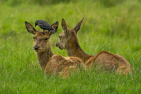 wildlife photography of deer with black crow on top