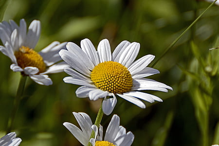 person showing white daisies