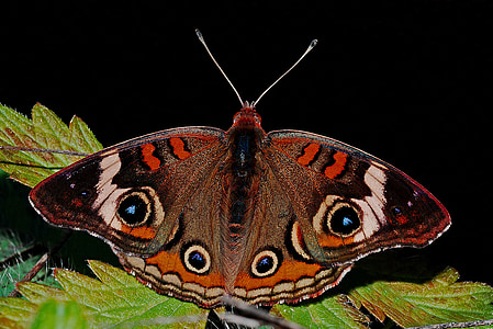 selective focus photography of common buckeye butterfly perched on green leaf